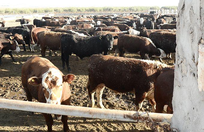 Arrivage de bovins brésiliens en Tunisie. Photo: Amjed Ba