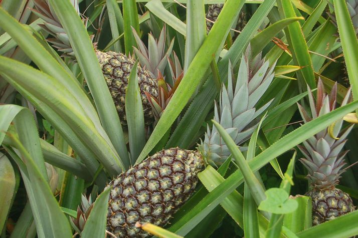 L'anacarde et l'ananas sont les deux produits d'exportations phares  de la nouvelle réforme.