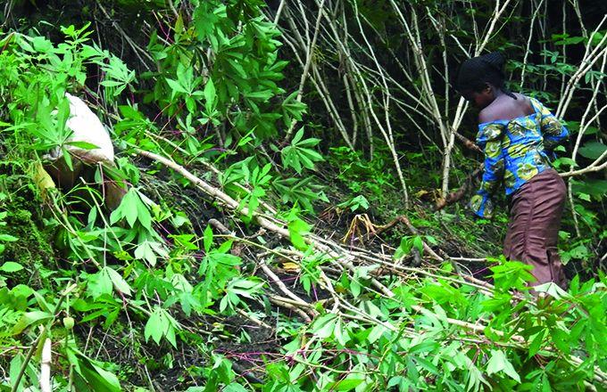 Une jeune récolte du manioc au sud de Lubero. Photo: Umbo Salama