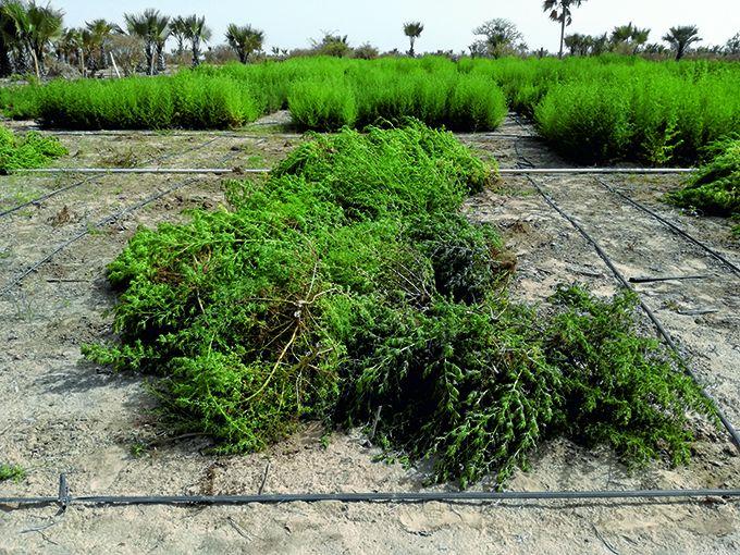 La culture de l'Artemisia annua sur les terres du projet maraîcher de Tivouane, près de Thiès au Sénégal. Photo : Maison de l'Artemisia