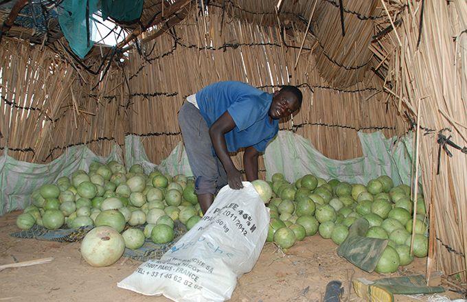 Le programme «Nourrir l'Afrique» vise à optimiser la production alimentaire. Ici, une récolte de pastèques à Keur Madiap, au nord du Sénégal. Photo: Antoine Hervé