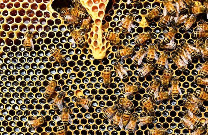Le miel togolais est généralement de bonne facture car il est produit le plus souvent sans pesticides ni sucre ajouté. Photo : Officiel Togo
