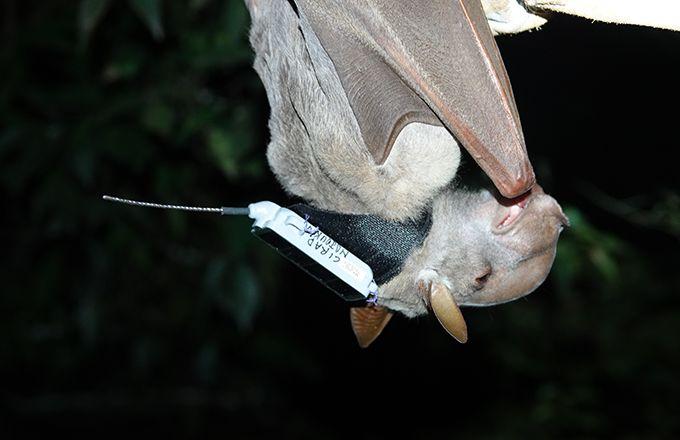 Chauve souris « Hypsignathus monstrosus » équipée d'une balise GPS pour étudier son comportement. Photo : Morgane Labadie (Cirad)