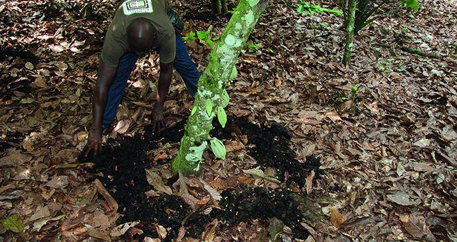 Les aides directes pourraient être liées à l'adoption  de pratiques agroécologiques, comme cette fumure  dans une plantation de cacao biologique à M'Brimbo,  en Côte d'Ivoire. Photo: Antoine Hervé