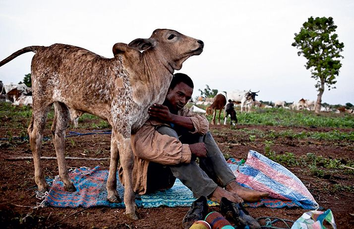 Le Nigeria importe beaucoup de bétail pour les fêtes de Tabaski et de fin d'année. Ici, une scène de transhumance. Photo: Gilles Coulon