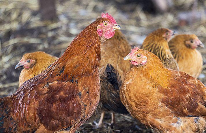 La nutrition des poulets de chair. © Manhattan001/Fotolia
