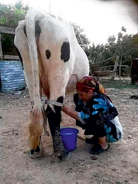 Les producteurs de lait se plaignent d'un prix trop bas. Photo : Utap