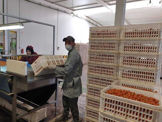 Masques et gants dans cette unité de conditionnement de tomates. Photo : MAM