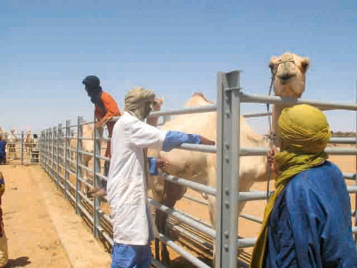 L'élevage de camélidés – ici la vaccination – est important en Mauritanie. © PM