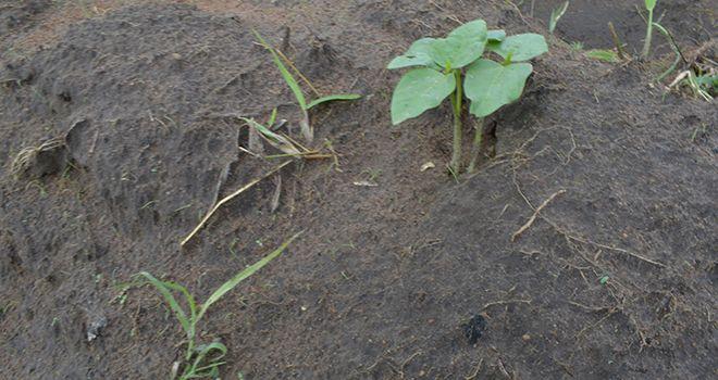 Jeune pousse de haricot au Togo. Photo : Anani Galley