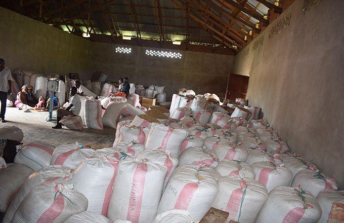 Récolte de riz en République démocratique du Congo. Photo: Merveille Kakule Saliboko