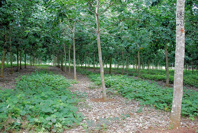 Couvert végétal entre les rangs de tecks.