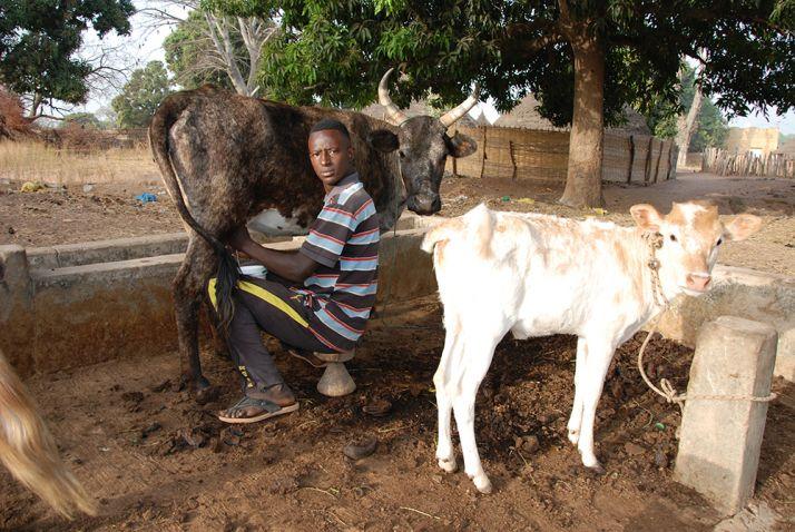 La traite au village de Bantancountou Maounde, près de Kolda. Photos : Antoine hervé