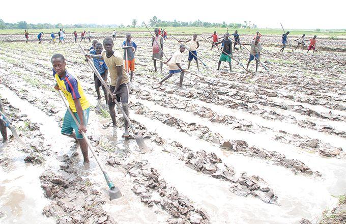 La travail agricole est perturbé par la crise du Covid-19. Ici, dans une rizière en Casamance, au Sénégal. Photo : A.Hervé