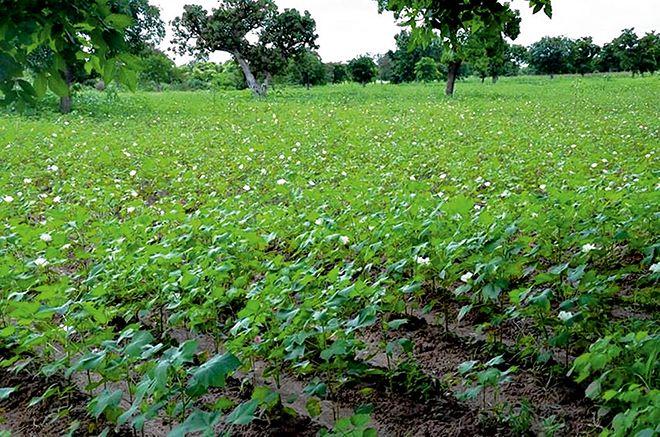 Le Burkina a renoncé au coton transgénique en mars 2016. Ici, un champ de coton de variété conventionnelle au sud-ouest du pays. Photo : Tiego Tiemtoré
