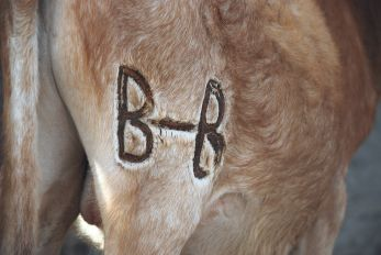 Les animaux sont marqués en cas de perte, ici un jeune taureau de Boubakar Baldé.