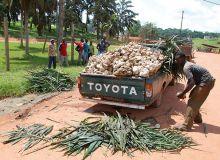 Les souscriptions douteuses visaient notamment des plantations d'hévéas.  Ici, récolte du fruit de l'hévéa dans l'ouest du pays. © Antoine Hervé