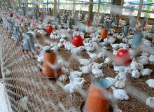 Bien que dynamique, le secteur avicole ivoirien, ici dans la région d'Abidjan, manque encore de technicité. Photo : A. Hervé