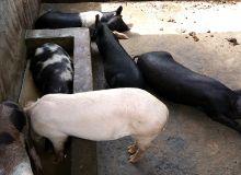 Le bassin de baignade doit être adapté au nombre de porcs. Dans cet exemple, en Côte d'Ivoire, le bassin est trop petit. Photo: Quentin Leboucher