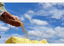 Récolte de blé à Settat, au sud de Casablanca. Photo : OCP