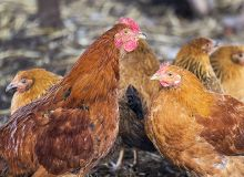 La nutrition des poulets de chair. © Manhattan001/Fotolia