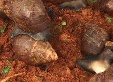 Certains escargots pèsent plus de 250 grammes. Photos: G. C. Roko