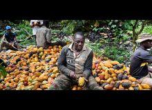 La variété dite « cacao brésilien » assure environ deux tonnes/hectare de rendement, contre une tonne pour les variétés traditionnelles. Photo : BAD