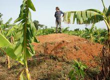 Le respect de la terre est essentiel aux plantes et à l'alimentation, comme dans cette bananeraie de Côte d'Ivoire. Photo: Antoine Hervé