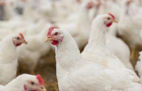 Mycotoxines en volaille : un risque de sous-performances et de pertes économiques. © Fotolia