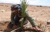 Plantation de palmiers dattiers dans la zone d'Errachidia, au Maroc. Photo : Antoine Hervé