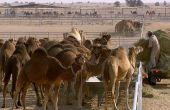 La distribution de fourrage dans la plus grande laiterie de chamelles au monde.