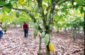 Verger sain de cacao dans le sud-ouest de la Côte d'Ivoire.  Photo: A. Hervé