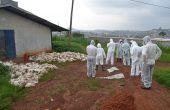 Abattage de poulets suite à la grippe aviaire diagnostiquée fin mai à la ferme avicole Mvod-Betsi, à Yaoundé. Photo: Celcom Minepia