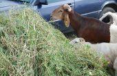 Une bonne alimentation permet aux animaux de rester en bonne santé et d'être moins dépendants aux antimicrobiens, comme ces moutons à Abidjan en Côte d'Ivoire. Photo: Antoine Hervé