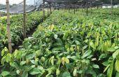 Une pépinière de plants de cacao de Solea. La société envisage de planter 3000 ha de cacao en Côte d'Ivoire. Photos: KKO International