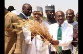 La FAO fait état d'une baisse de la consommation de riz au Nigeria. Ici, Godwin Emefiele, gouverneur de la banque centrale, en cravate verte, lors du lancement de la campagne riz dans l'État de Kebbi au Nord du Nigeria. Photo: Daouda Aliyou