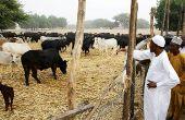 Le président du Nigeria Muhammadu Buhari (en blanc) dans sa ferme, avec son bétail. Photo : Daouda Aliyou