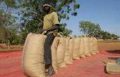 Récolte de maïs en Afrique de l'ouest. © Farm