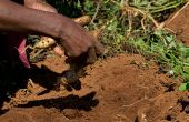 La production propre, avec un minimum de pesticides, comme ici à Ntfingula au Swaziland, est un impératif de l'agriculture de demain. Photo : FAO/Rodger Bosch