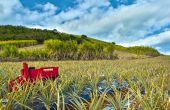 Le robot tropicalisé en action dans un champ d'ananas surl'île de la Réunion. Photo: Naïo Technologies
