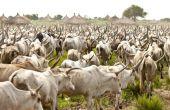 Au Togo, chaque année, environ 30 000 bovins transhument dans le pays à la recherche de pâturages. Photo : MAT