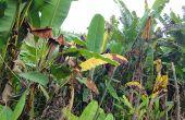 La maladie a dévasté environ 40 %  des bananeraies de la région, comme ici près de Baswagha. Photo: C. M. Sengenya